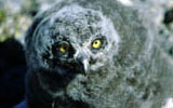 coral harbour baby owl