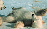 coral harbour polar bear cub